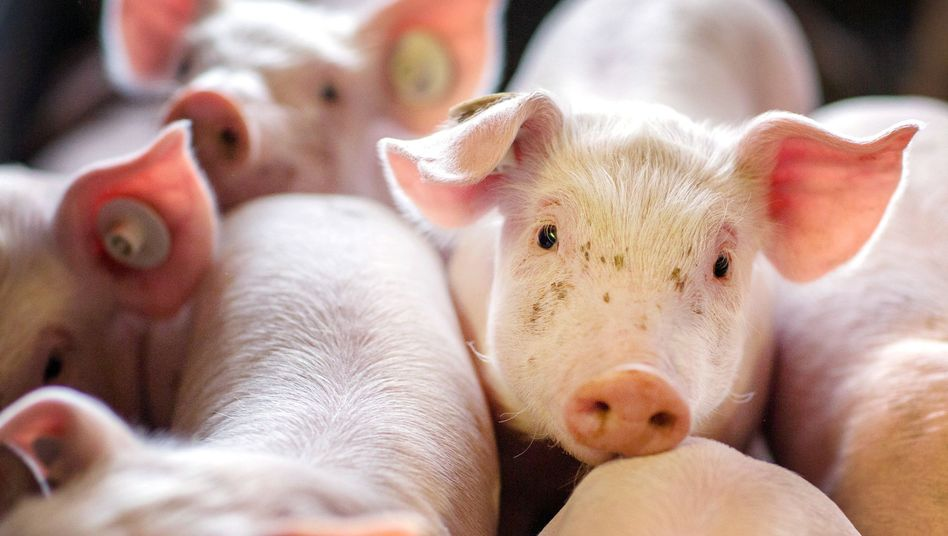 Ferkel in einer Schweinezuchtanlage in Mecklenburg-Vorpommern (Archivaufnahme)