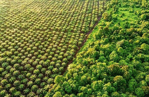 Plantage, Wald auf Borneo