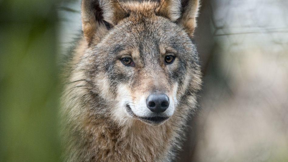 Wolf (Archivbild): »Der kann an einer Straße die falsche Abzweigung nehmen«