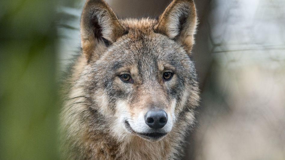 Ein Wolf wurde mitten in Köln gesichtet (Symbolbild)