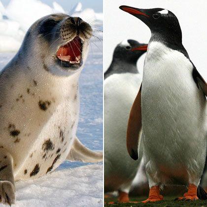 Passt das wirklich zusammen? Flossenfüßer und Pinguin