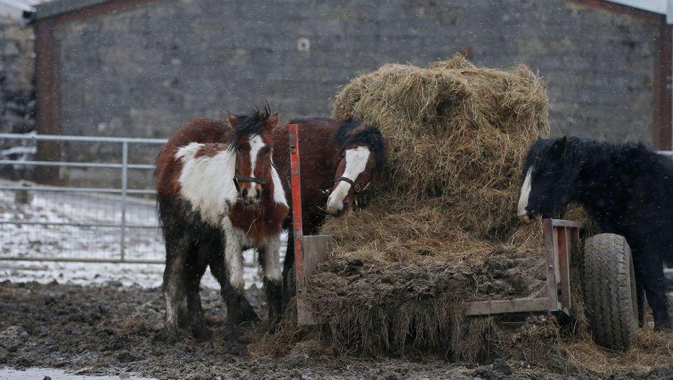 Pferde vor einem Schlachthaus in West Yorkshire: Hier wurde ein Verdächtiger verhaftet.