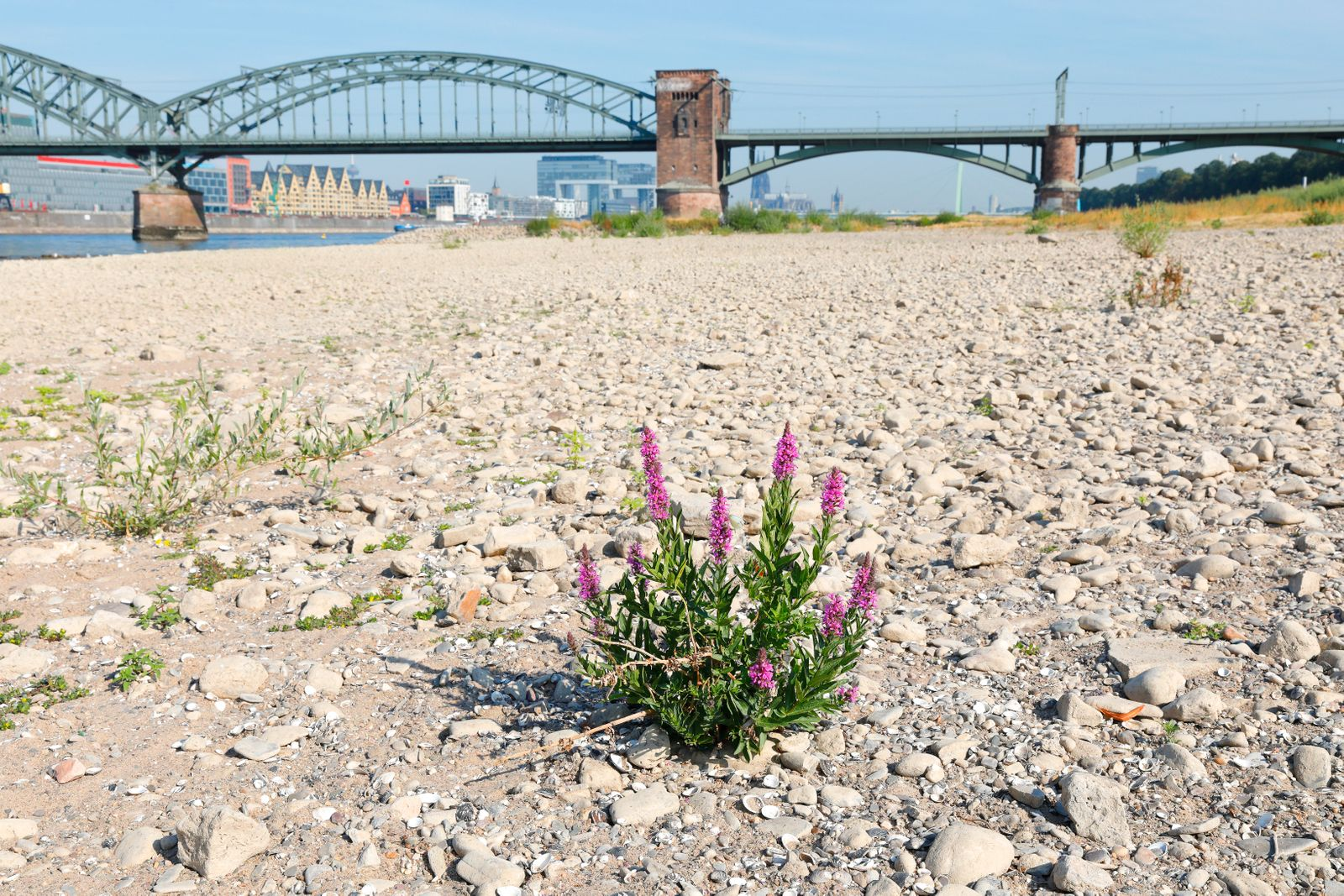 River Rhine with low water, Cologne, Germany