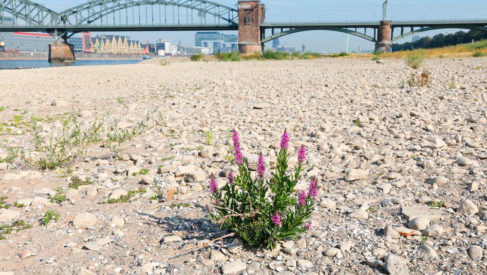 Ausgetrockneter Rhein im Sommer 2018