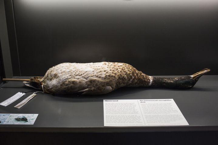 Endstation Glasscheibe: Der Stockente wurde die Fassade des Museums zum Verhängnis