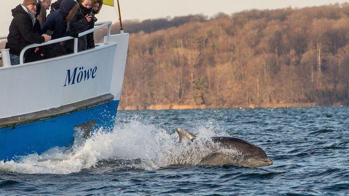 Sensation in der Ostsee: Delfine vor Flensburg