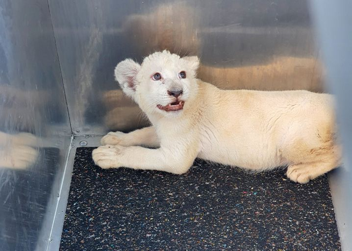 Gerettet: Das weiße Löwenbaby von der A5