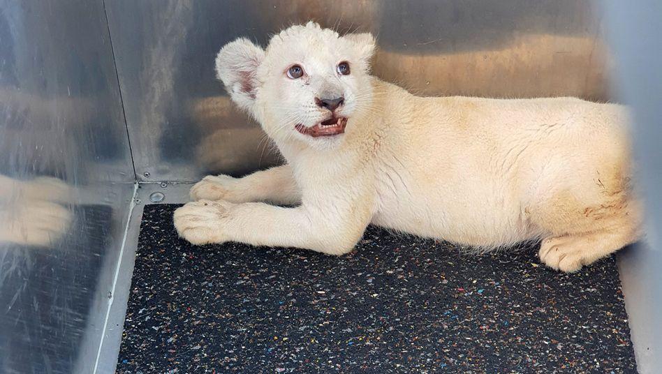Weiße Löwin Lea