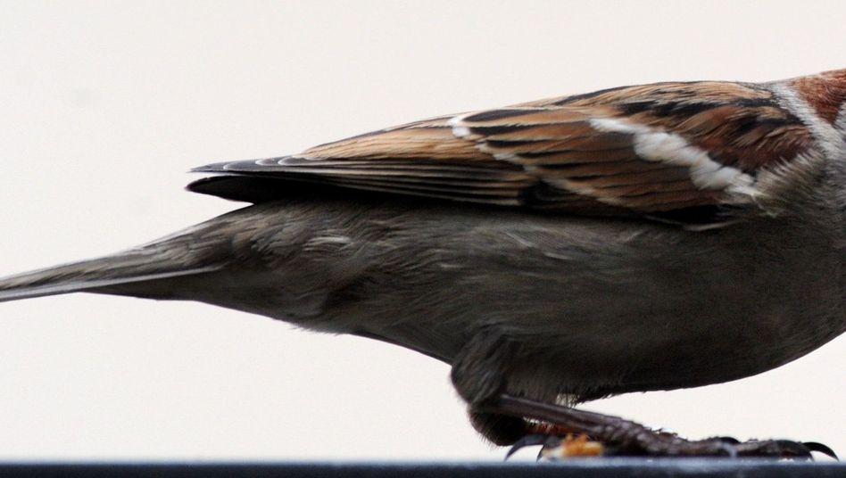 Spatz: Bei der neuen Gartenvogelzählung wurden weniger Haussperlinge gezählt als zuvor.