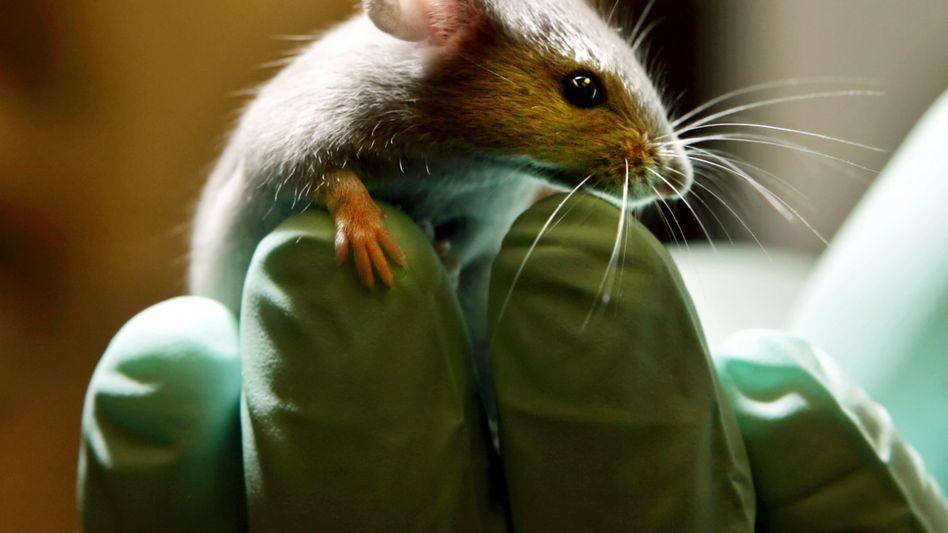 Labormaus: Verhütungsmittel für den Mann an Mäusen getestet