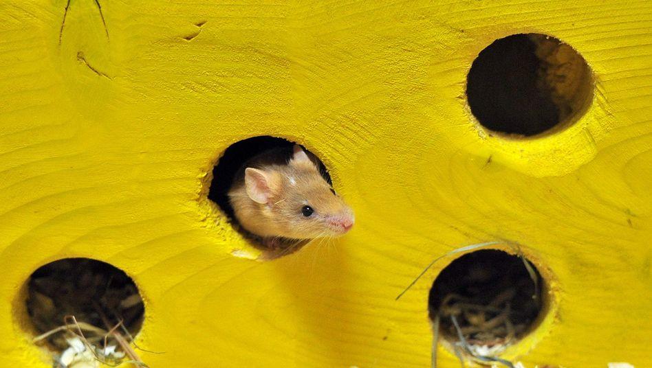 Hausmaus: Bakterien fördern das funktionierendes Immunsystem der Nager