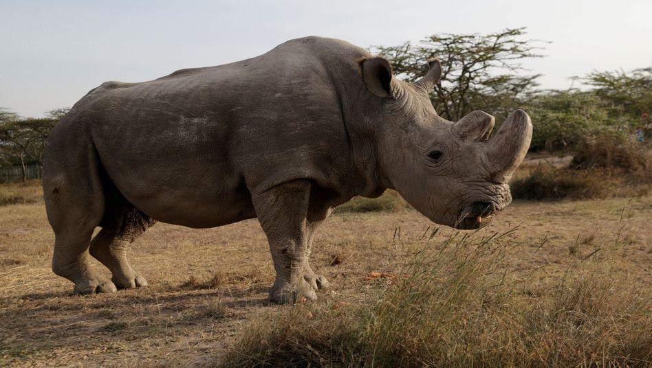 Nashornbulle Sudan kurz vor seinem Tod: Nur noch seine Enkelin und seine Tochter sind übrig