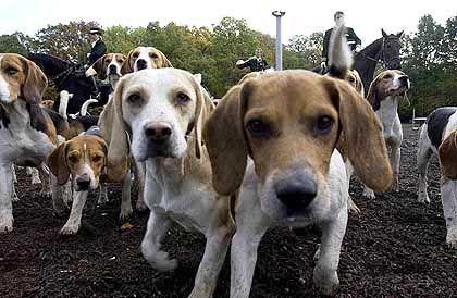Hübsche Hunde: Wollen diese Beagle nur spielen?