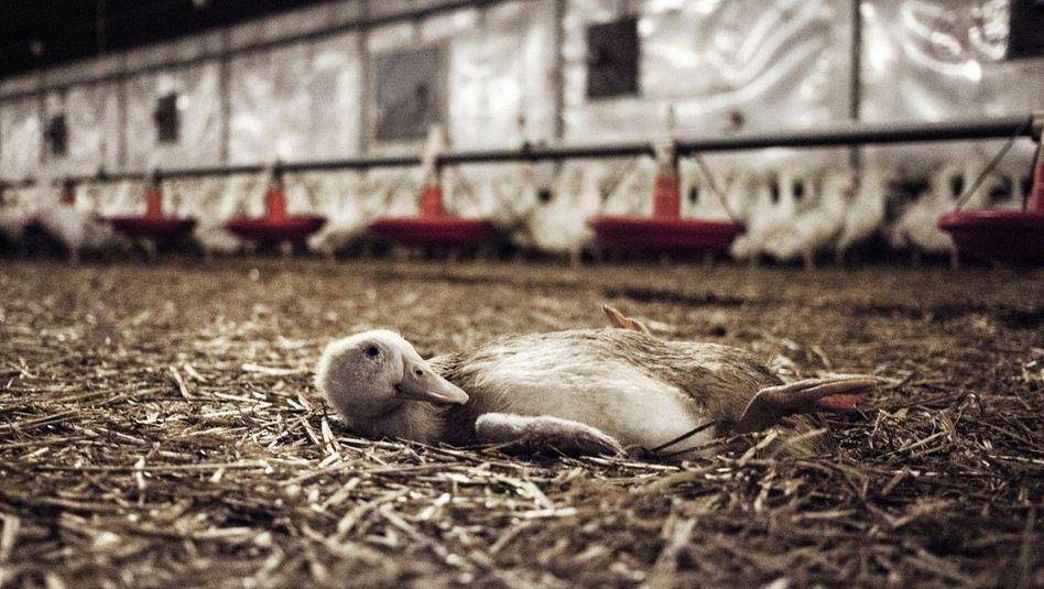 Ente in Mastanlage: Fallen die Tiere auf den Rücken, werden sie oft totgetrampelt oder verdursten
