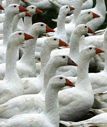 Gänse: Verbreitung typischerweise in Wasservögeln