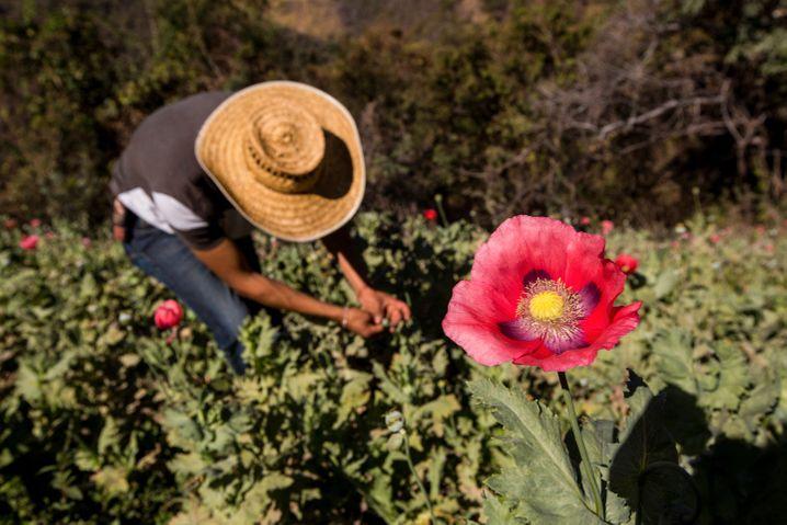 Früher kämpften Banden und Kartelle in der Sierra de Guerrero um Schlafmohn-Anbaugebiete – jetzt geht es ums Holz