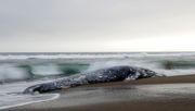 Forscher rätseln über mysteriöses Walsterben