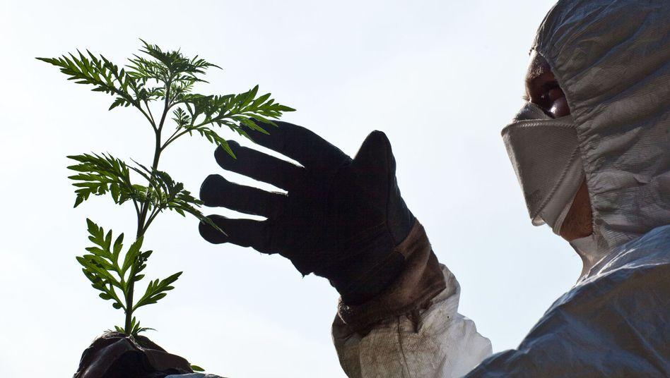 Beseitigung von Beifußambrosia-Pflanzen: Sie stehen auf der Liste des Schreckens für Allergiker weit oben.