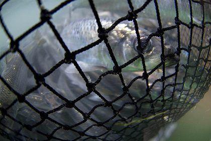 """Heringe in Fischnetz (vor Alaska): """"Die sind momentan komplett zur Plünderung freigegeben"""""""