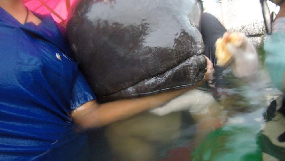 Pilotwal: Todesursache Plastikmüll