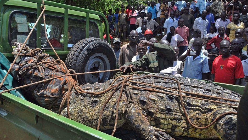 Riesen-Reptil in Uganda (Archiv): Dieses 800-Kilo-Krokodil ging Wildhütern 2014 ins Netz
