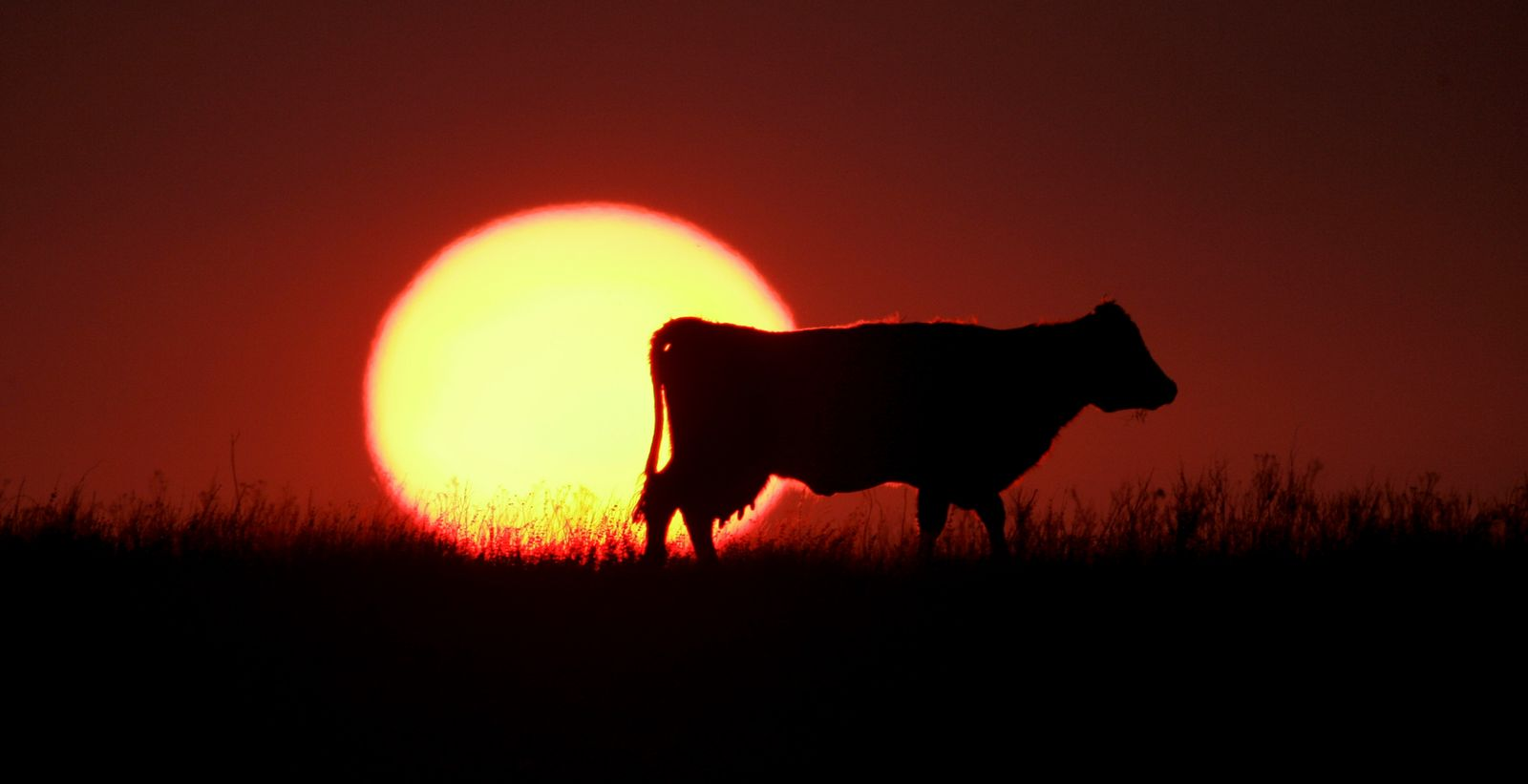 Kuh/Weide/Sonnenuntergang