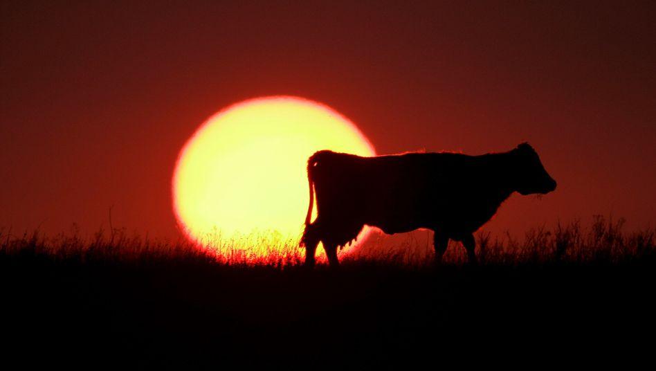 Kuh im Sonneruntergang: Macht Milch schläfriger, wenn sie nachts gemolken wurde?
