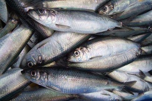 Gefangene Heringe: Europas Fische werden immer kleiner