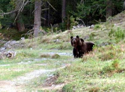 A brown bear near the Ofen pass in a Swiss National Park in July 2005. This was the first time bears were spotted in the wild in Switzerland since 1923.