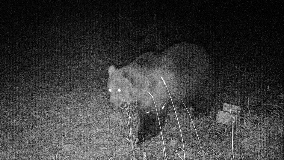 Bär in Bayern: Aufnahme einer Wildtierkamera aus der Nacht zum Mittwoch