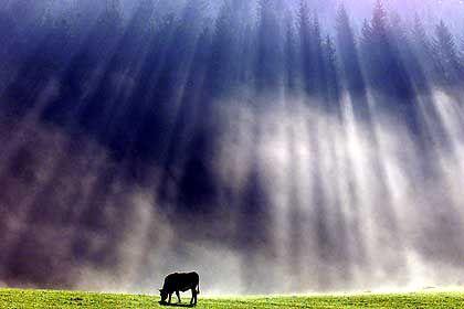 Kuh im Schwarzwald: Umweltschädliche Blähungen