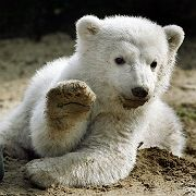 Cute Knut on Friday greeted the world which has been eagerly awaiting his first public appearance.