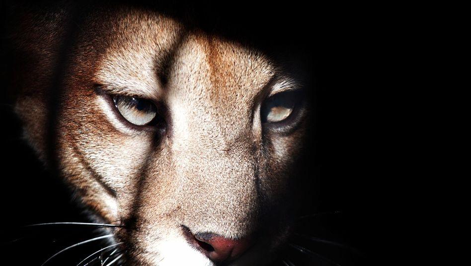 """Puma (Archivbild): Terrier """"Jack"""" hielt das Tier wohl für eine gewöhnliche Katze"""