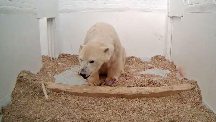 Berlin: Eisbärbaby im Tierpark geboren