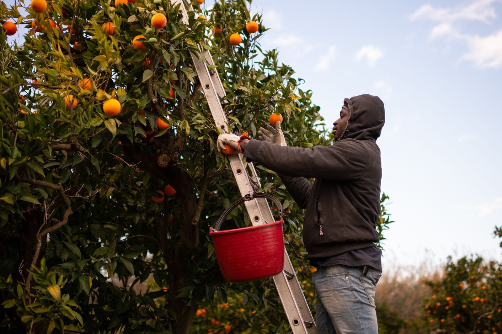 A Senegalese migrant collects oranges on the plain of