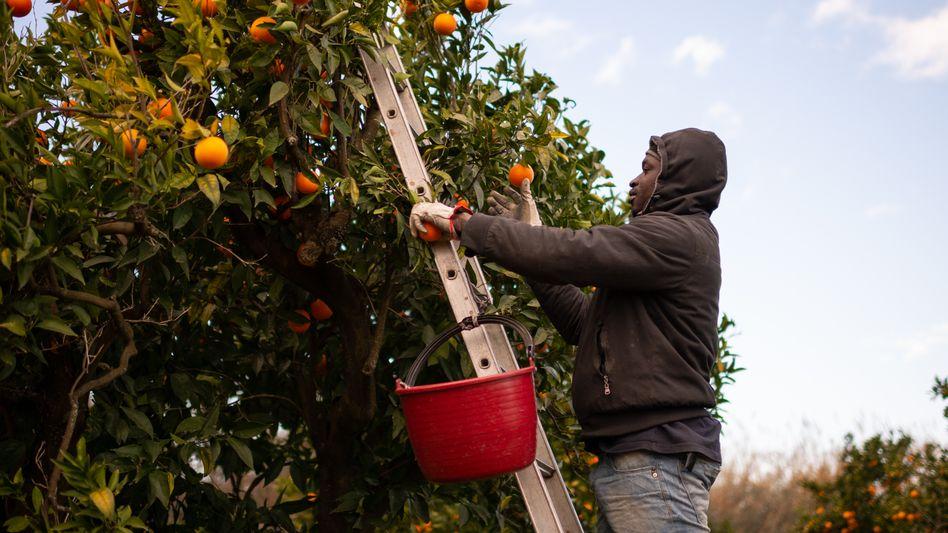 Ein Erntehelfer in Kalabrien: Zitrusfrüchte für Europa