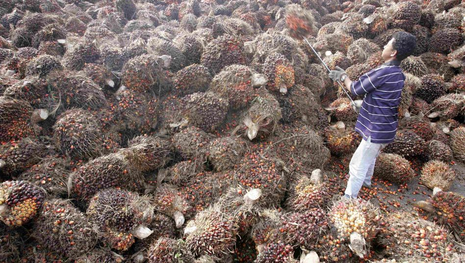 """Palmölherstellung in Malaysia (Mai 2006): """"Aus klimaschutzpolitischer Sicht keine Option"""""""