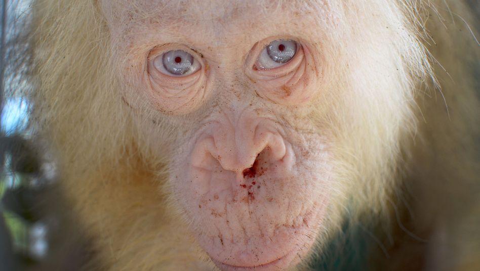 Fünf Jahre alter Albino-Orang-Utan in einer Auffangstation
