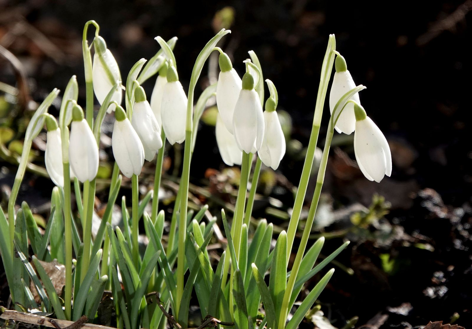 Snowdrop flowers bloom in central Moscow