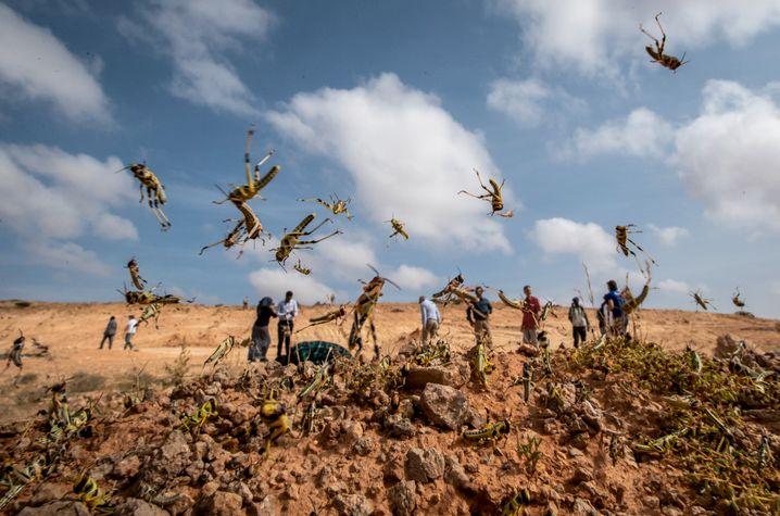 Nymphen im Sprung: Jungtiere, die noch nicht fliegen können, in der halbautonomen Region Puntland in Somalia