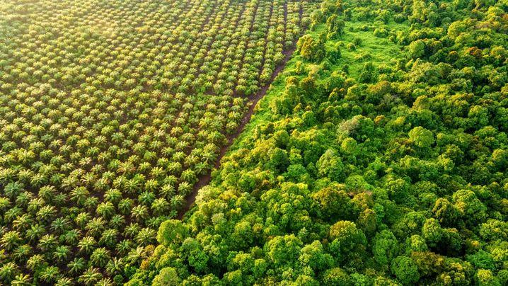 Palmölplantage, Regenwald auf Borneo