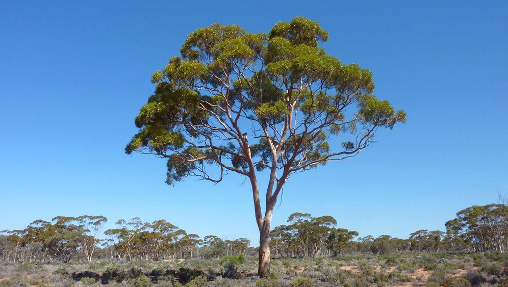 Edelmetall in Pflanze: Goldiger Eukalyptus