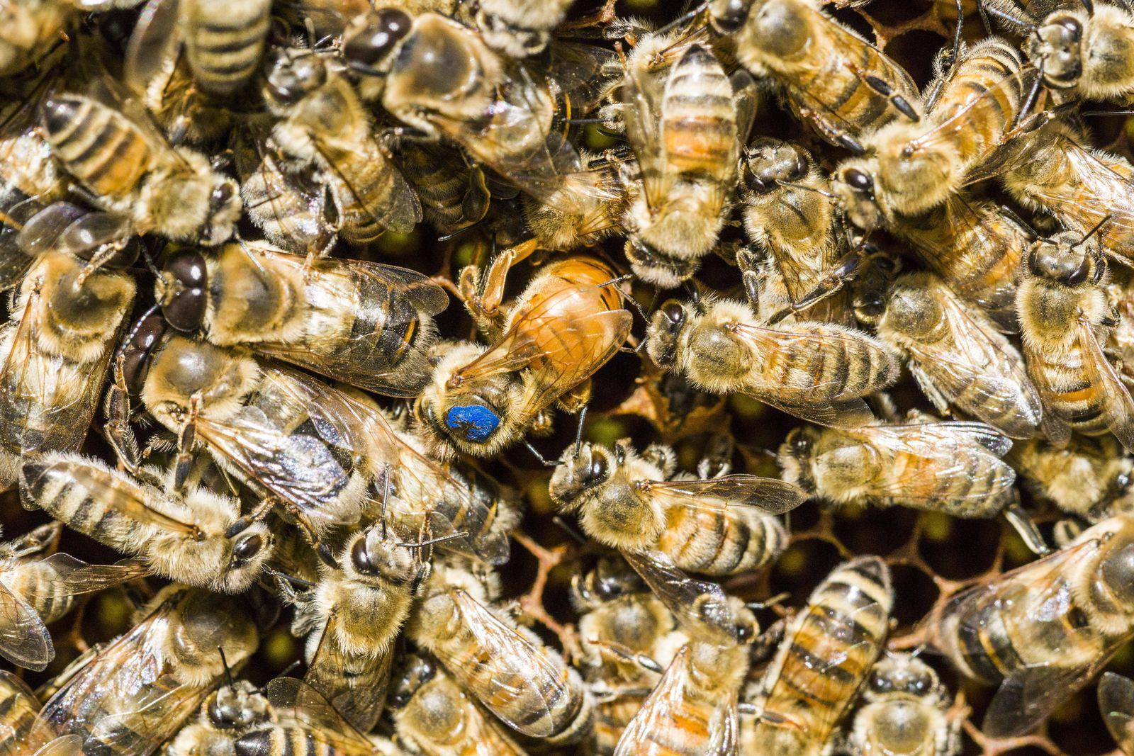 EINMALIGE VERWENDUNG Paarungsrituale / Honigbienen-Königin