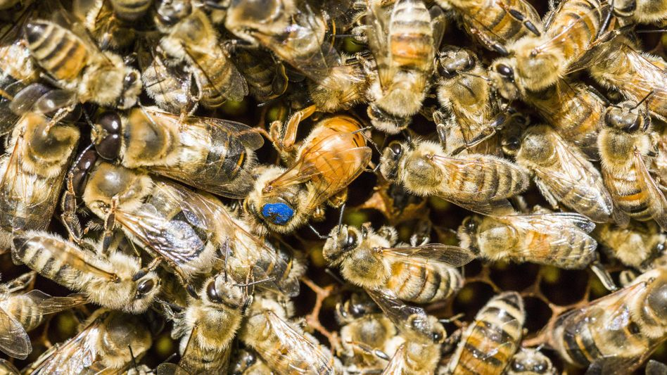 Honigbienen-Kolonie mit blau markierter Königin