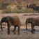Zwölf Elefanten an bakterieller Infektion gestorben