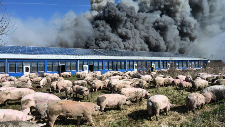 Brand in Schweinezuchtanlage in Alt-Tellin