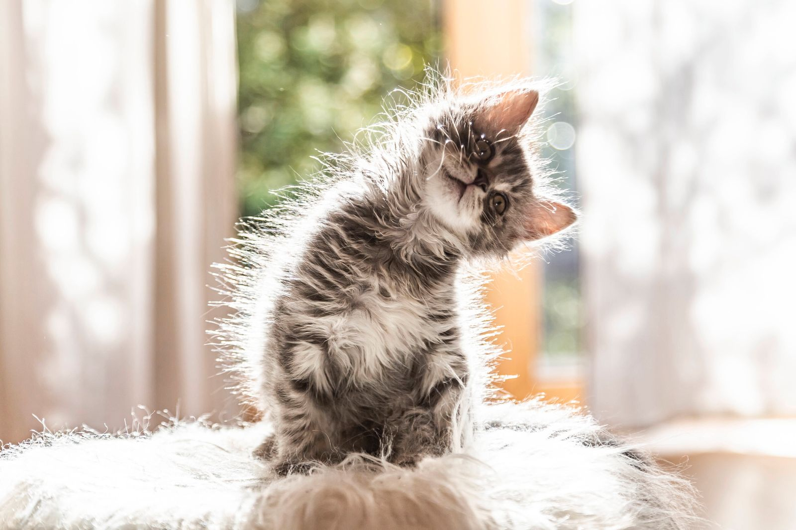 Portrait of cute fluffy kitten tilting head property released PUBLICATIONxINxGERxSUIxAUTxHUNxONLY SARF04404