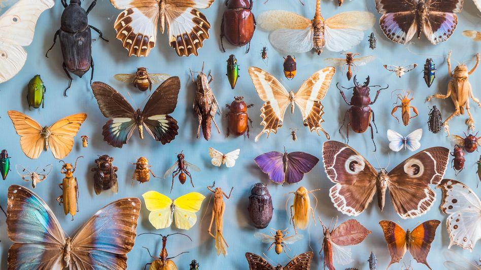 Käfer und Schmetterlinge in einer Museumssammlung