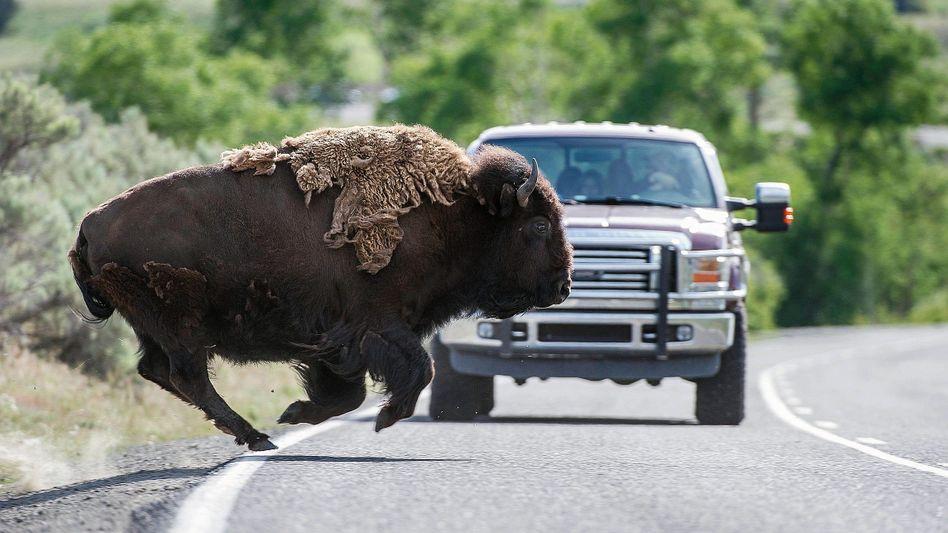 Bison bei Straßenüberquerung im amerikanschen Yellowstone-Nationalpark