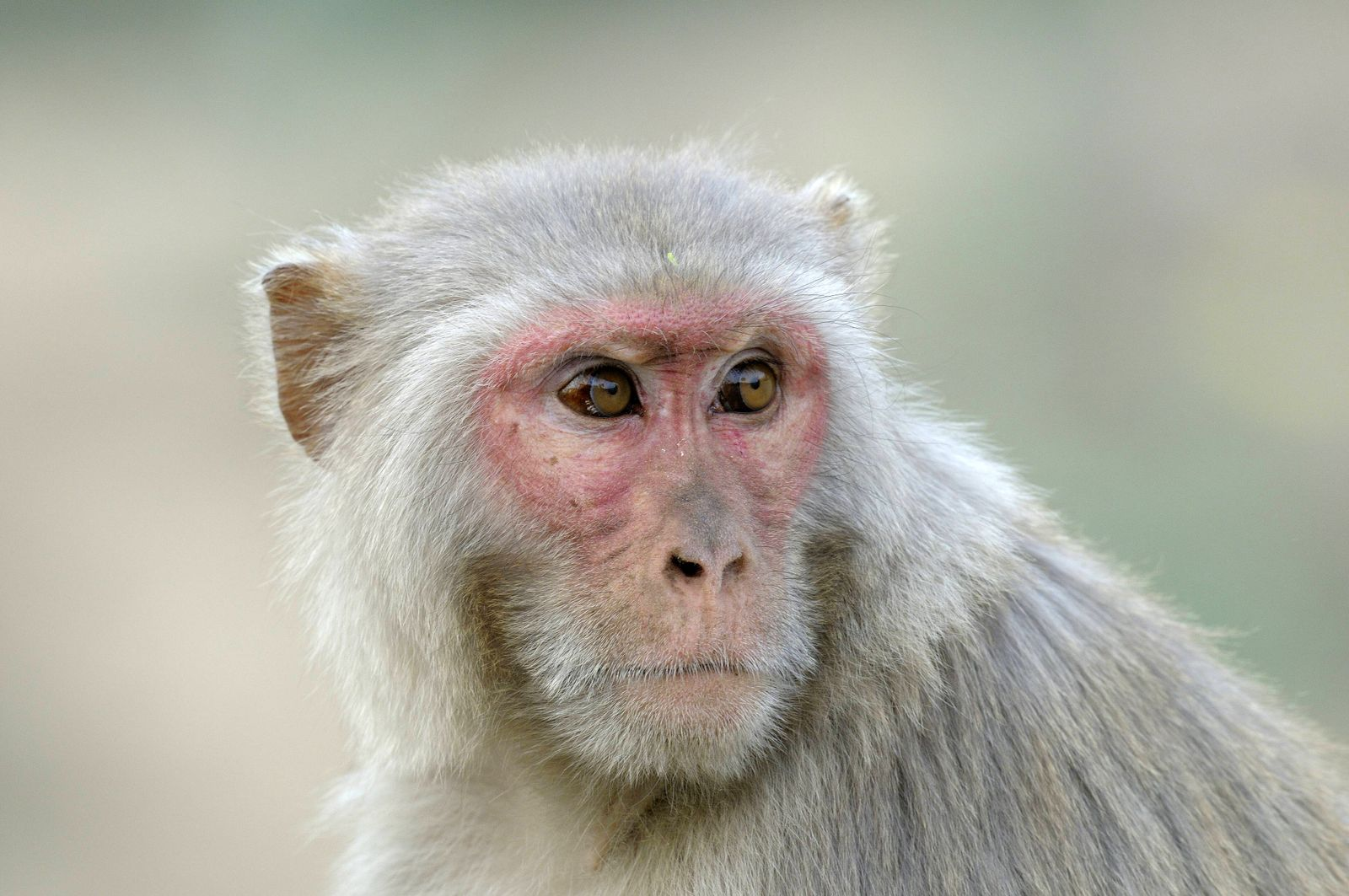 EINMALIGE VERWENDUNG Rhesusaffe/ Rhesus Monkey Macaca/ Indien